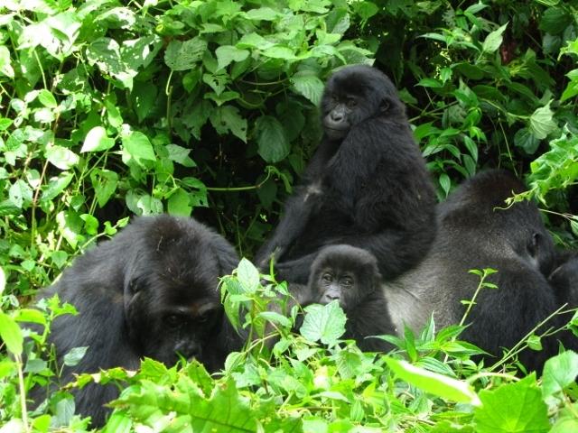 lowland gorilla tours