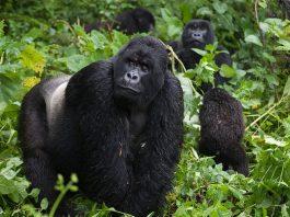 gorilla safaris africa