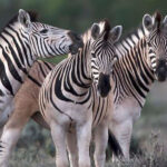 Zebras in Karoo National Park